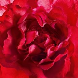 Eau de Parfum Bloom of Rose (See 2/4)